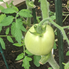 A green tomato on the vine