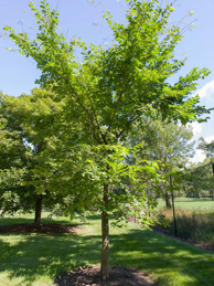 'Valley Forge' American Elm