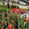 Garden with red tulips