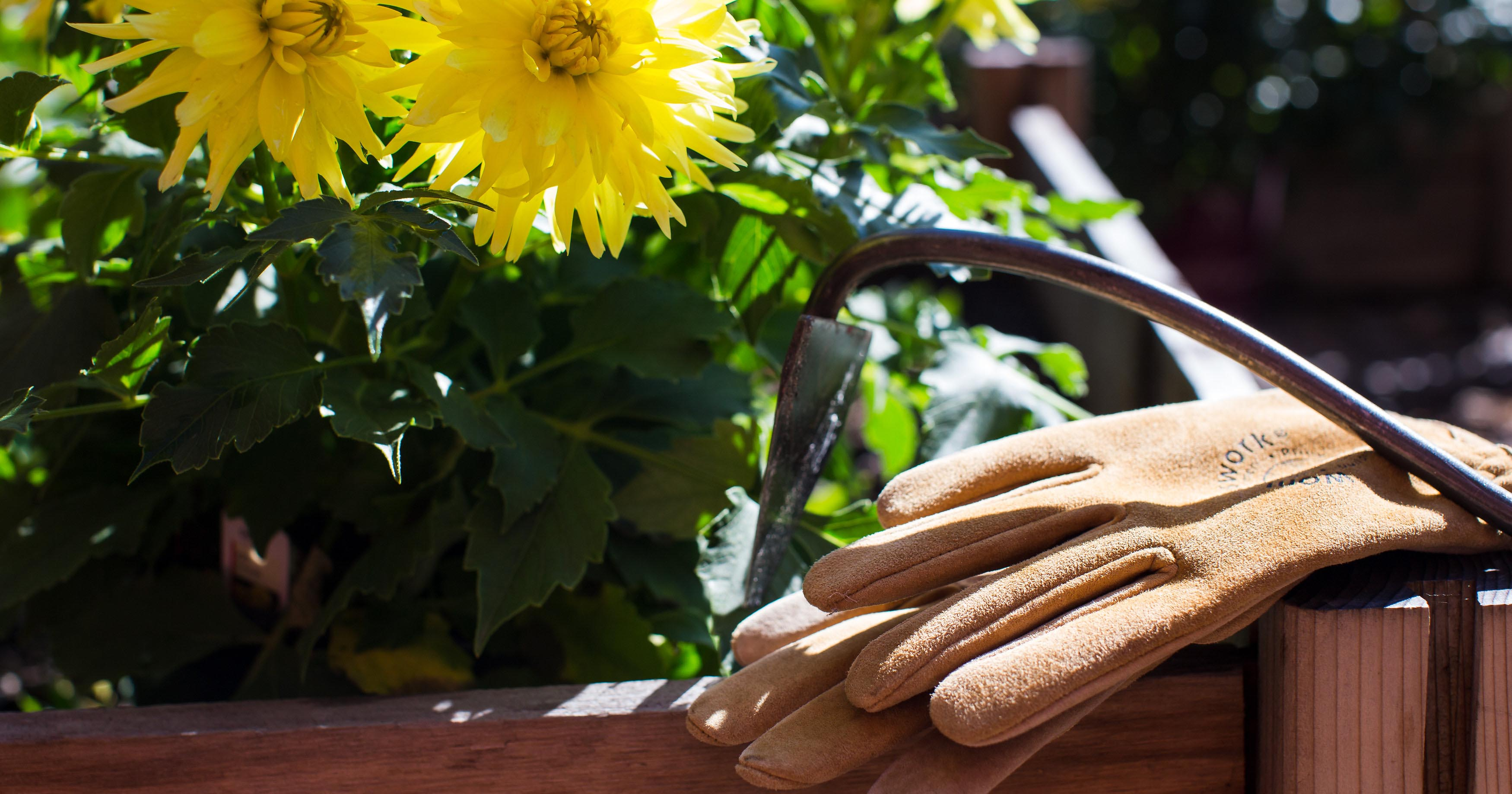 Gardening gloves and yellow flowers