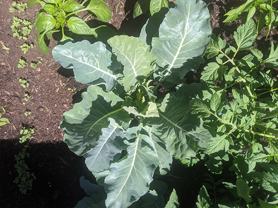 A large leafy cauliflower plant