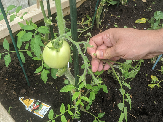 A sucker branch is plucked from beside a tomato