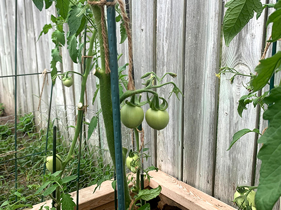 Two tomatoes hanging on the vine