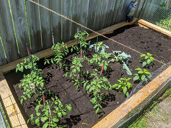 A raised garden bed of tomato plants.