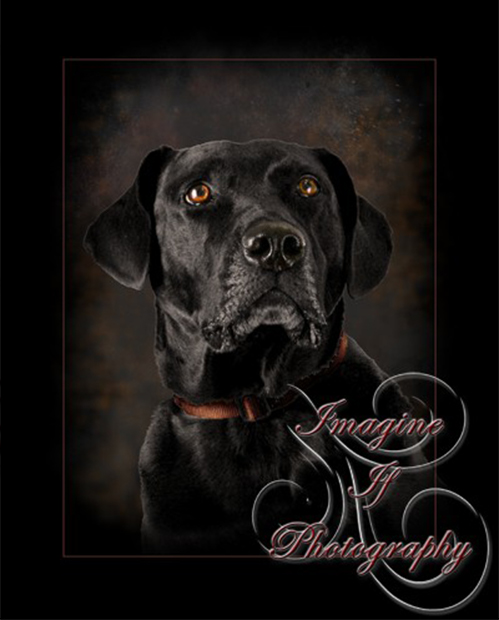 Imagine If Photography Black Labrador Retriever