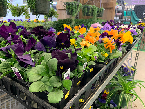 Pansies ready to plant at the Indiana Flower + Patio Show